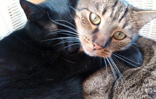 Kočičí bráškové Šlomo a Haruki hledají akutně nový domov!